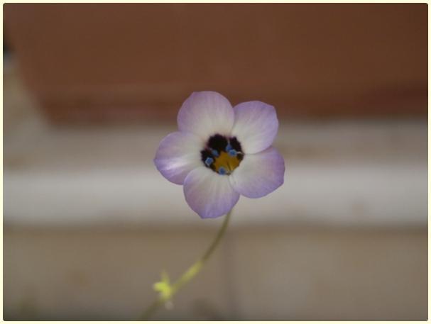 Name:  Gilia tricolor - Kuş Gözü.jpg Views: 620 Size:  15.6 KB