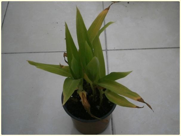 Name:  Tesbih Çiçeği (Coix lacryma).jpg Views: 726 Size:  22.9 KB