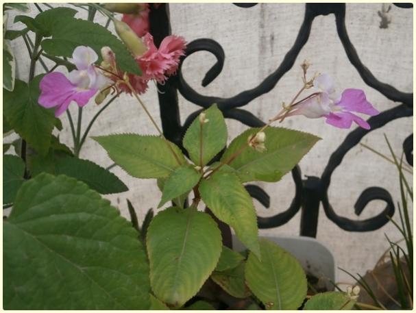Name:  Impatiens balfourii (Keşmir Kına Çiçeği ) (4).jpg Views: 677 Size:  41.3 KB