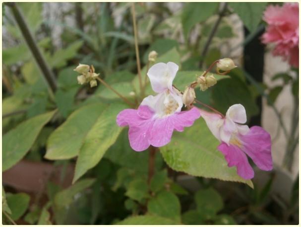 Name:  Impatiens balfourii (Keşmir Kına Çiçeği ) (5).jpg Views: 804 Size:  31.2 KB