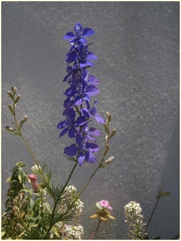 Name:  Delphinium sp. - Hezaren, Süvari Mahmuzu, Delfinyum Çiçeği.jpg Views: 834 Size:  61.3 KB