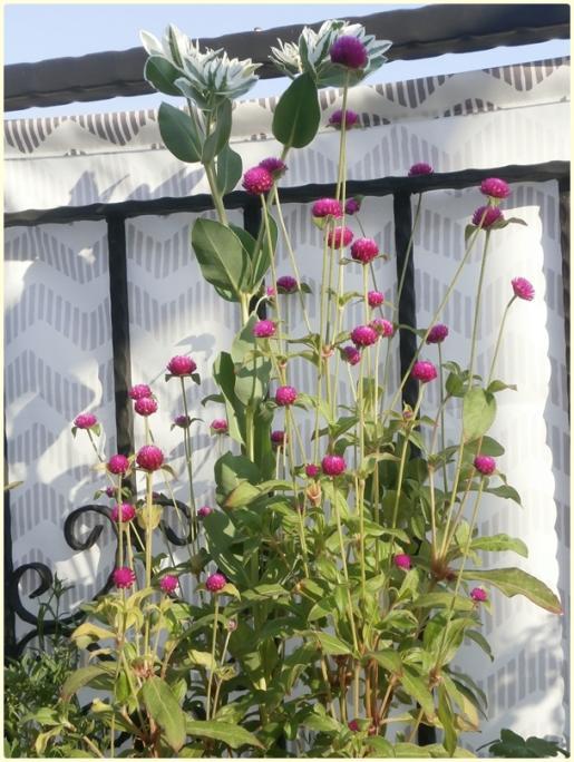 Name:  Düğme Çiçeği (Gomphrena globosa) (4).jpg Views: 494 Size:  70.0 KB
