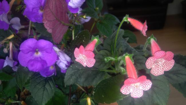 Name:  Achimenes ve Japon Küpesi (Kohleria).jpg