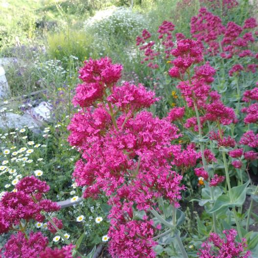 Name:  Mahmuz çiçeği (Centranthus Ruber) 1.jpg Views: 186 Size:  74.6 KB