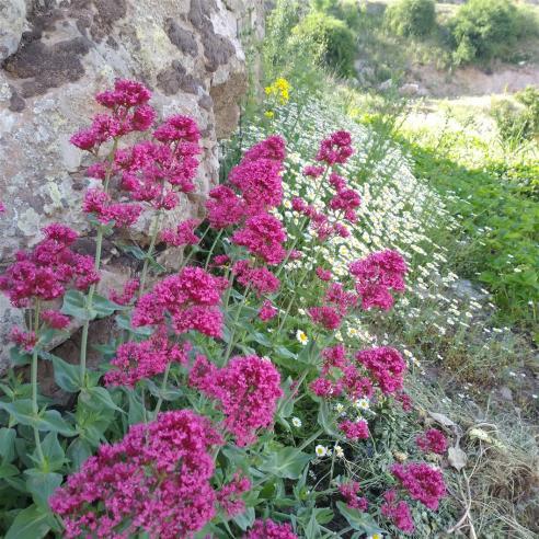 Name:  Mahmuz çiçeği (Centranthus Ruber) 2.jpg Views: 194 Size:  73.8 KB