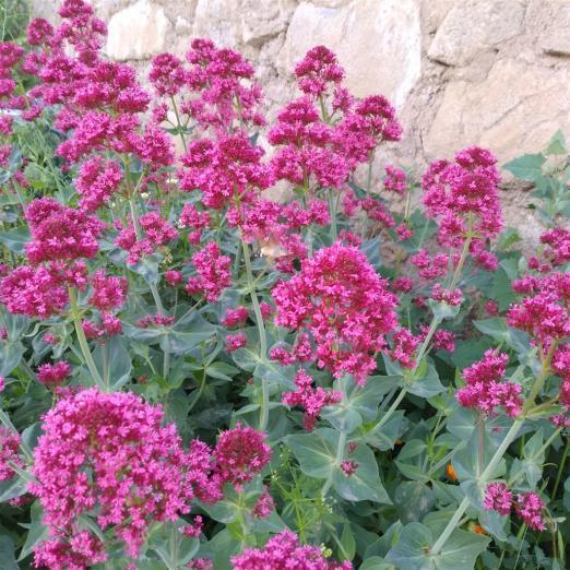 Name:  Mahmuz çiçeği (Centranthus Ruber) 4.jpg Views: 195 Size:  74.6 KB