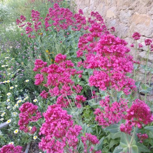 Name:  Mahmuz çiçeği (Centranthus Ruber).jpg Views: 189 Size:  74.1 KB