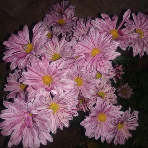 Name:  Kasımpatı (Chrysanthemum) 1.jpg Views: 242 Size:  71.0 KB