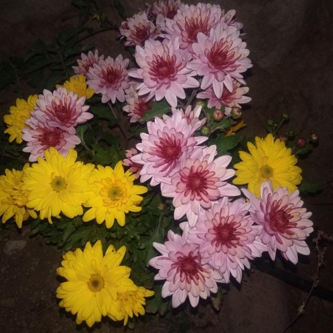 Name:  Kasımpatı (Chrysanthemum) 2.jpg Views: 279 Size:  65.2 KB