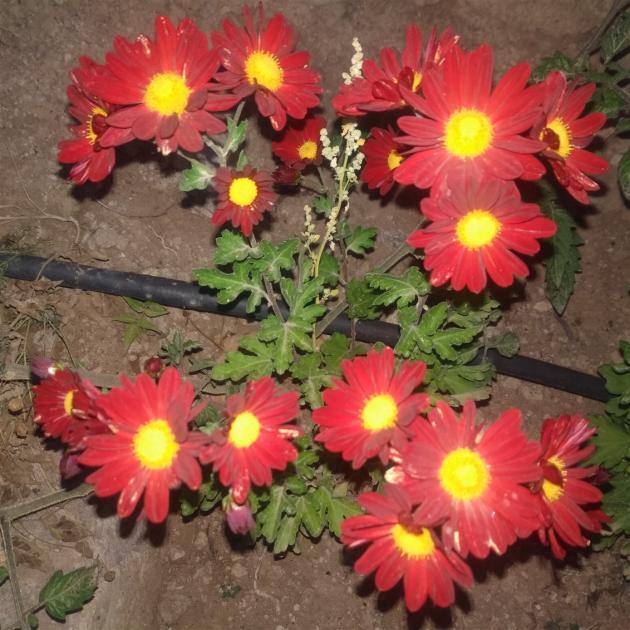 Name:  Kasımpatı (Chrysanthemum) 3.jpg Views: 245 Size:  70.6 KB