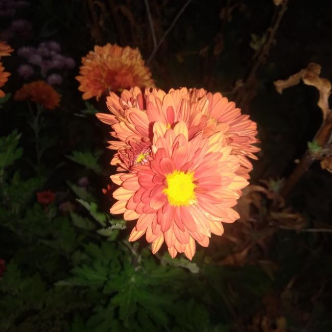 Name:  Kasımpatı (Chrysanthemum) 4.jpg Views: 259 Size:  40.8 KB