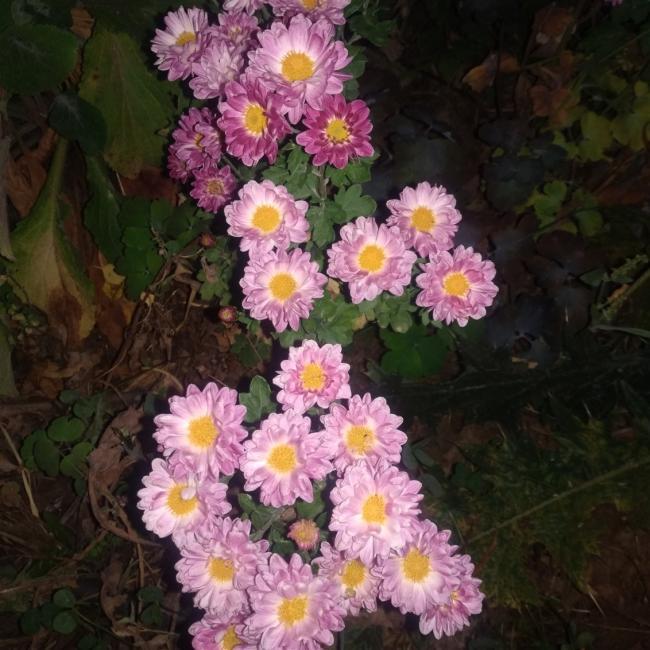 Name:  Kasımpatı (Chrysanthemum) 5.jpg Views: 244 Size:  65.7 KB