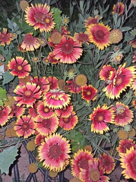 Name:  Gaillardia - Gayret Çiçeği 5.jpg Views: 90 Size:  81.7 KB