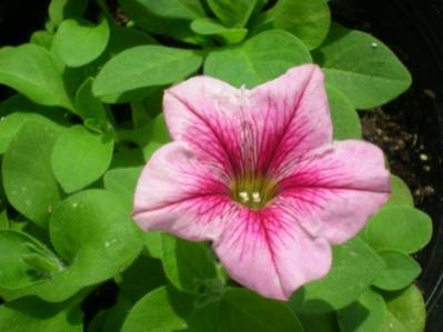 Name:  çiçek5.jpg Views: 11229 Size:  18.5 KB