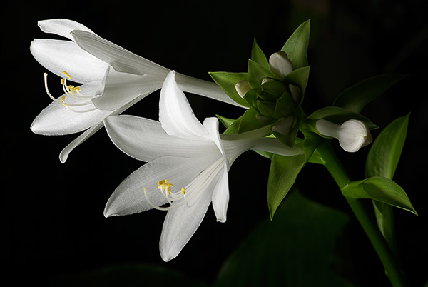 Name:  hosta_cicek.jpg