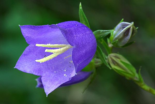 Name:  campanula_persicifolia.jpg Views: 5305 Size:  66.3 KB