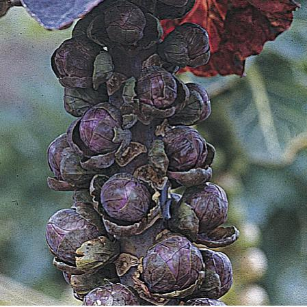 Name:  Brussels Sprouts 'Red Bull'.jpg