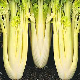 Name:  CELERY, GOLDEN, SELF BLANCHING.JPG