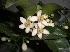 Name:  limon çiçeği.JPG Views: 39839 Size:  5.7 KB