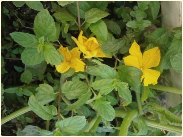 Name:  Salatalık, Hıyar (Cucumis sativus).jpg Views: 1214 Size:  44.5 KB