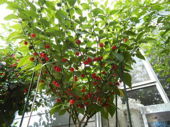 Каролинский жнец выращивание 36