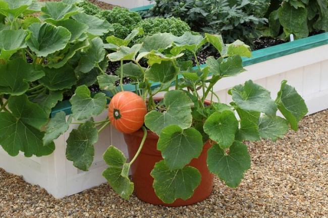 Name:  Windsor-Pumpkin-in-pot.jpg Views: 4070 Size:  62.6 KB