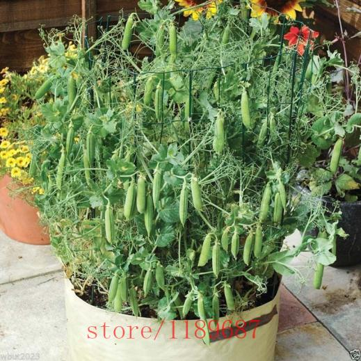 Name:  20pcs-Tom-Thumb-Dwarf-Shelling-Pea-seeds-bean-seeds-Organic-vegetable-seeds-hign-6-8cm-Heirloom.jpg