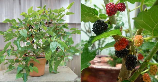 Name:  How-to-Grow-Mulberry-in-Pot1-1.jpg