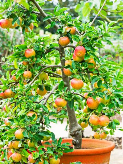 Name:  Dwarf-Fiesta-Apple-Tree-in-pot.jpg