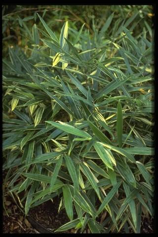 Name:  bam-sasaella-glabra-albostriata.jpg Views: 15028 Size:  65.2 KB