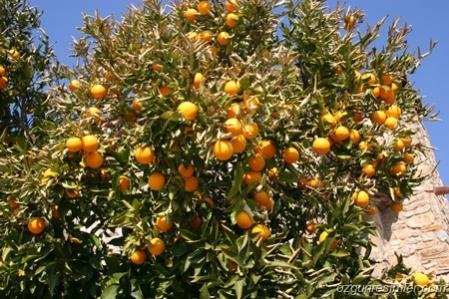 Name:  orange-tree.jpg