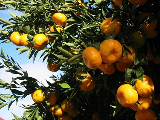 Name:  mandalina-agaci.jpg Views: 110 Size:  51.9 KB