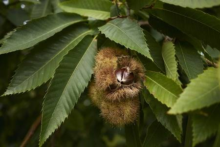 Name:  96733363-castanea-sativa-tree.jpg