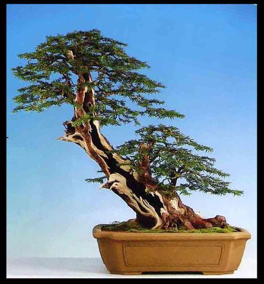 Name:  bonsai3large[1].jpg Views: 2227 Size:  56.8 KB