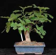 Name:  ficus-carica-bonsai.jpg Views: 8951 Size:  7.1 KB