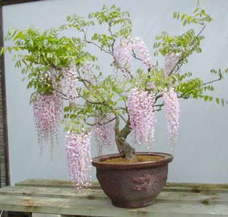 Name:  wisteria-floribunda-wisteri.jpg