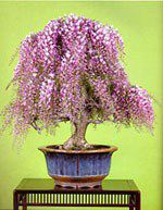 Name:  WisteriaChineseBonsai01.jpg