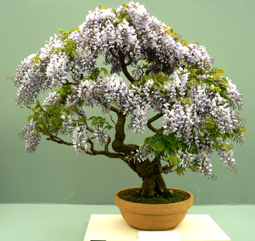 Name:  Wisteriabonsai_371x352.jpg