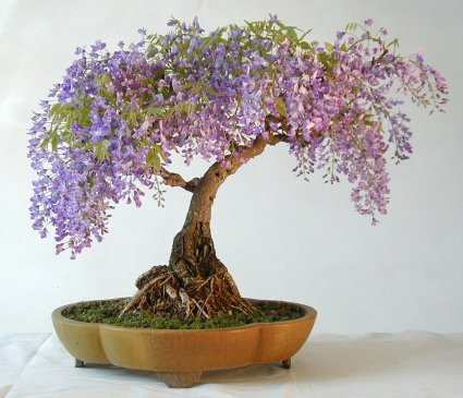Name:  Wisteria001iB.jpg