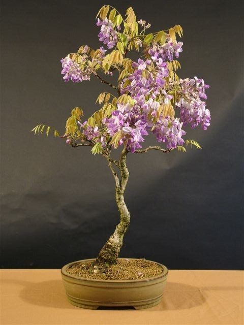 Name:  Wisteria wist110.jpg