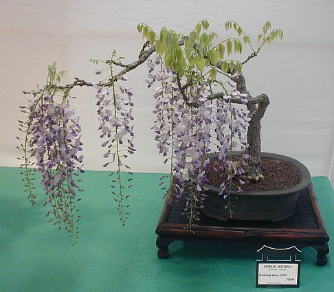 Name:  SacWisteria.jpg
