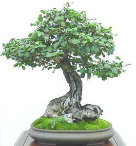 Name:  ceratonia-siliqua-bonsai2.jpg Views: 11517 Size:  13.3 KB