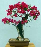 Name:  bougainvillea-glabra-bonsai.jpg Views: 5419 Size:  7.0 KB