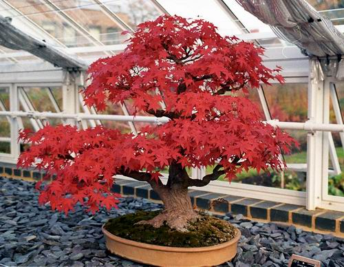 Name:  bonsai-k111[1].jpg