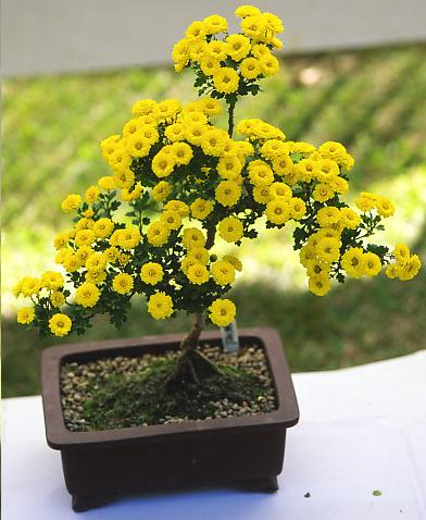 фото домашние цветы Хризантема, цвет желтый, Bonsai Chrysanthemum.