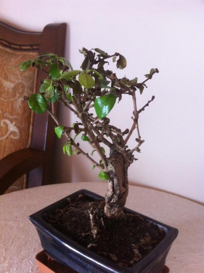 Name:  bonsai genel.jpg