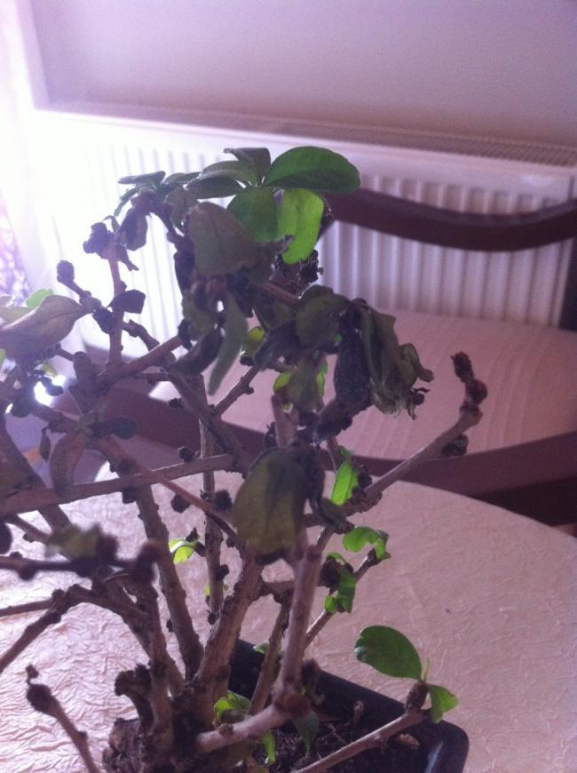 Name:  bonsai yaprak.jpg