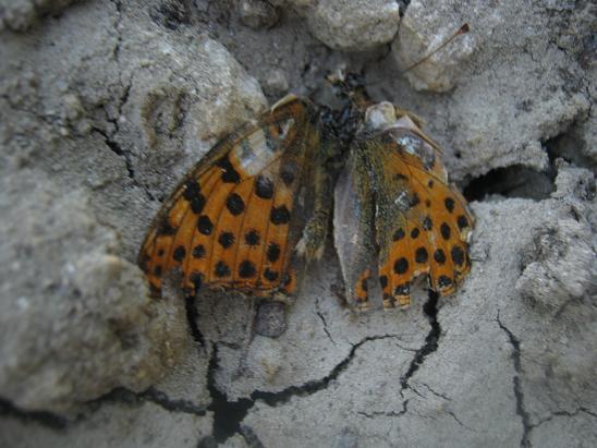 Name:  ölü kelebek.JPG Views: 1779 Size:  55.2 KB