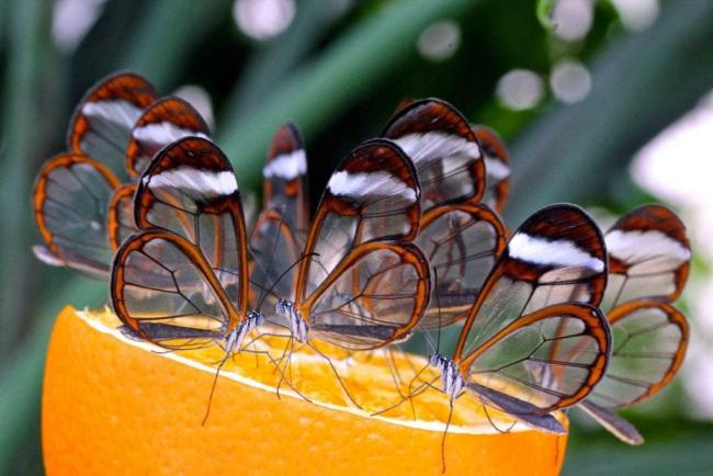 Name:  glasswing+butterfly.jpg Views: 1475 Size:  43.8 KB