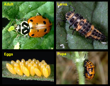 Name:  convergent_lady_beetle.jpg